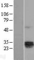 NBL1-11900 - IL12A Lysate