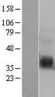 NBL1-11901 - IL12B Lysate