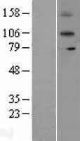 NBL1-11903 - IL12RB2 Lysate