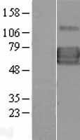 NBL1-11905 - IL13 receptor alpha 1 Lysate