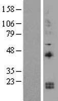 NBL1-11907 - IL15 Lysate
