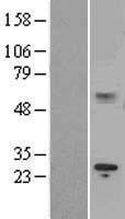 NBL1-11910 - IL15RA Lysate