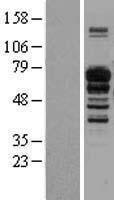 NBL1-11911 - IL16 Lysate