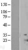 NBL1-11946 - IL17E Lysate