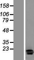NBL1-11914 - IL17F Lysate