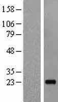 NBL1-11921 - IL19 Lysate