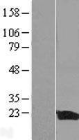 NBL1-11925 - IL1F5 Lysate