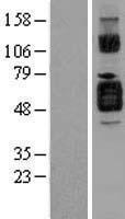 NBL1-11927 - IL1R2 Lysate
