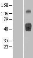 NBL1-11928 - IL1R2 Lysate