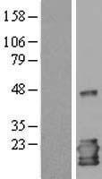 NBL1-11933 - IL1RA antagonist Lysate