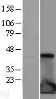 NBL1-11934 - IL1RA antagonist Lysate