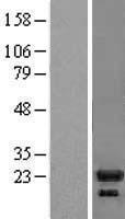 NBL1-11935 - IL1RA antagonist Lysate
