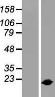NBL1-11936 - IL1RA antagonist Lysate