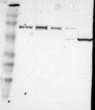 NBP1-81599 - IL1RAPL1 / OPHN4