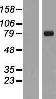 NBL1-11931 - IL1RAPL2 Lysate