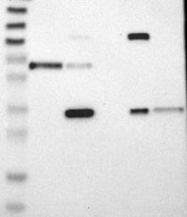 NBP1-85251 - IL1RL1 / ST2
