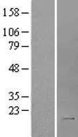NBL1-11937 - IL2 Lysate