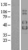 NBL1-11949 - IL2 Receptor gamma Lysate