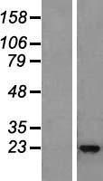 NBL1-11940 - IL22 Lysate