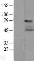 NBL1-11941 - IL22 Receptor Alpha Lysate