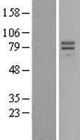 NBL1-11944 - IL23 Receptor Lysate