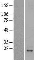 NBL1-11951 - IL31 Lysate