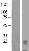 NBL1-11953 - IL32 Lysate