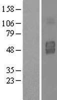 NBL1-11956 - IL3RA Lysate