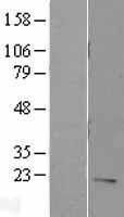 NBL1-11965 - IL7 Lysate