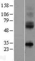 NBL1-11971 - IL9R Lysate