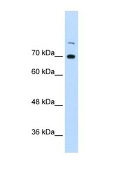 NBP1-58225 - ILF3 / DRBF