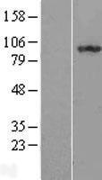 NBL1-11973 - ILF3 Lysate