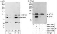 NBP1-71876 - ILF3 / DRBF