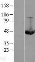 NBL1-11976 - ILKAP Lysate