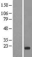 NBL1-11978 - IMMP1L Lysate