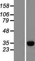 NBL1-11982 - IMPA1 Lysate