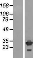 NBL1-11983 - IMPA2 Lysate