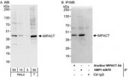 NBP1-42678 - IMPACT