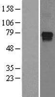 NBL1-11985 - IMPDH1 Lysate