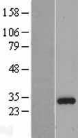 NBL1-11992 - ING4 Lysate