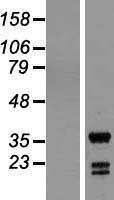 NBL1-11993 - ING5 Lysate