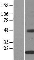NBL1-12004 - INSIG2 Lysate