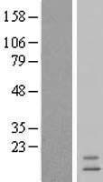 NBL1-12005 - INSL3 Lysate
