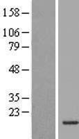 NBL1-12007 - INSL5 Lysate
