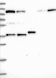 NBP1-83102 - INTS4
