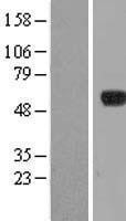 NBL1-14431 - IPCEF1 Lysate