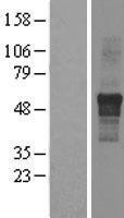 NBL1-12018 - IPPK Lysate