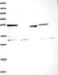 NBP1-84205 - IQCG