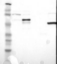 NBP1-90953 - SCHIP1