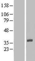 NBL1-12024 - IQCK Lysate